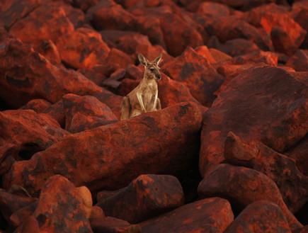 יובש, קנגרו, אוסטרליה