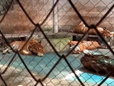 טיגריסים בתאילנד בכלוב (צילום: החדשות)