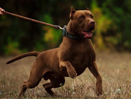 כלב קשור (אילוסטרציה: Brezhneva.od, shutterstock)