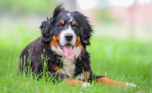 כלב מסוג ברנר זננהונד (אילוסטרציה: Djordje Ognjanovic, shutterstock)