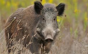 חזיר בר (צילום: skynews)