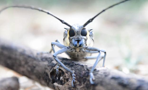 יקרונית התאנה (צילום: פייסבוק\Tomer Bokobza, צילום פרוקי-רגליים חרקים זוחלים ודו-חיים)