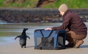 """הפינגווין ששחה 2,500 ק""""מ"""