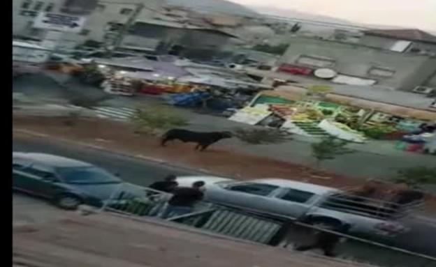 הגליל: שור השתחרר במרכז עיר - והשתולל (צילום: חדשות)