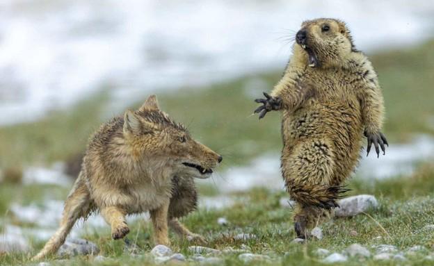 תמונת השנה בעולם החי (צילום: sky news, Frozen Moment. Pic: Jeremie Villet/Wildlife Photographer of the Year)