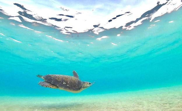 צבת ים שוחררו לים  (צילום: אילן אלגרבלי, רשות הטבע והגנים)