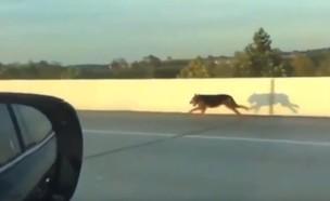 כלב קפץ מרכב בכביש המהיר (צילום: טוויטר TobyTinelli@)