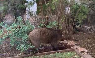 חזירי בר בחיפה (צילום: ענת גד)