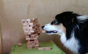 כלבה משחקת ג'נגה (צילום: my_aussie_gal, instagram)