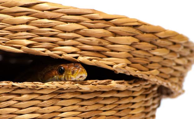 נחש בכביסה, קולאז' (צילום: shutterstock)
