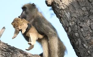 """""""הבבון טיפס עם הגור על העץ, כאילו היה בנו"""" (צילום: AP)"""