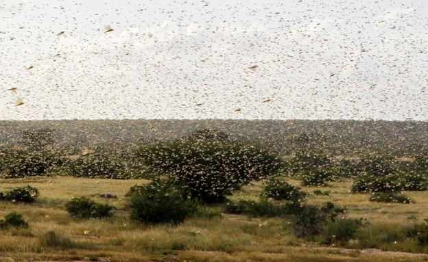 מכת הארבה באפריקה (צילום: רויטרס)