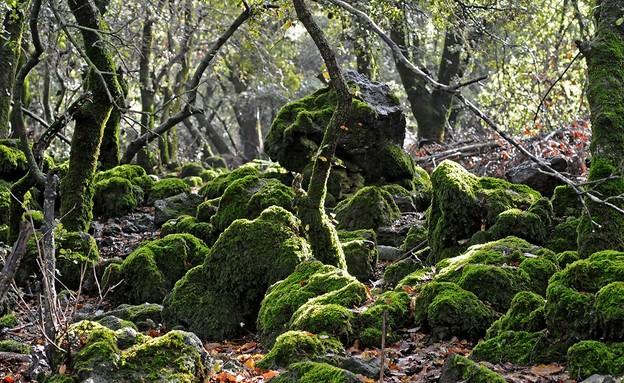 יער אודם צפון הגולן (צילום: יהודה ויינברג)