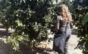 """מתנדבים בחקלאות (צילום: באדיבות """"השומר החדש"""")"""