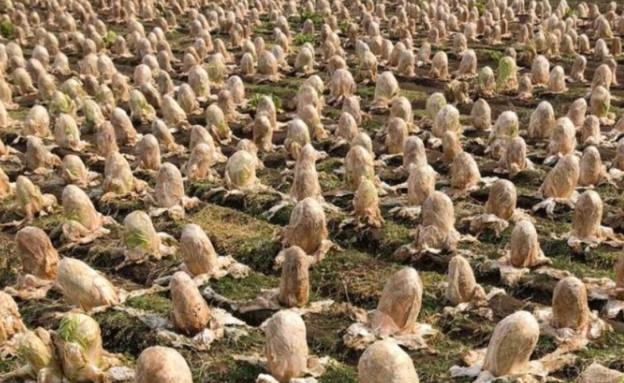 שדה כרוב (צילום: טוויטר\@dAiTaI0524)