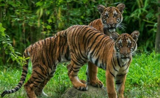 הנמרים בגן החיות בניו יורק