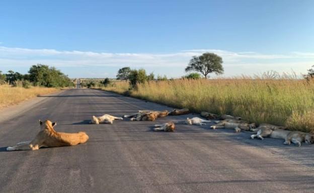 בשל הסגר שהוטל על המדינה, האריות בפארק הלאומי קרוג (צילום: CNN)