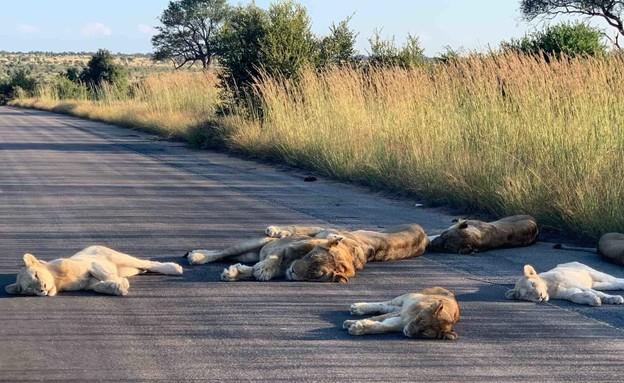האריות שוכבים על הכבישים בפארק הלאומי קרוגר