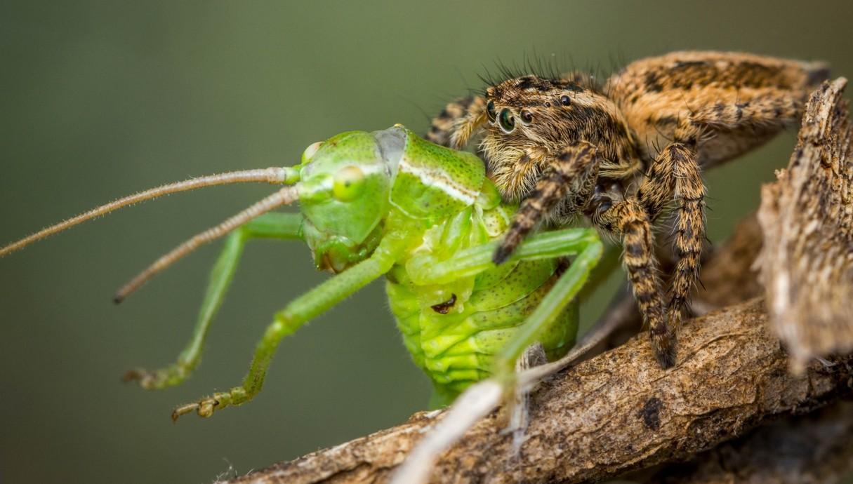עכביש טורף חרגול וזבוב שנהנה מהשאריות