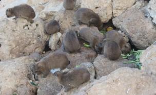 שפני סלע מתקהלים (צילום: דב גרינבלט, החברה להגנת הטבע)
