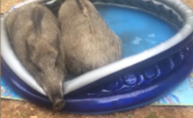 חזירים חדרו לחצר והשתכשכו בבריכה  (צילום: יובל שרון , HIX)