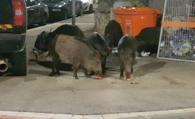 חזירי הבר משתוללים בחיפה