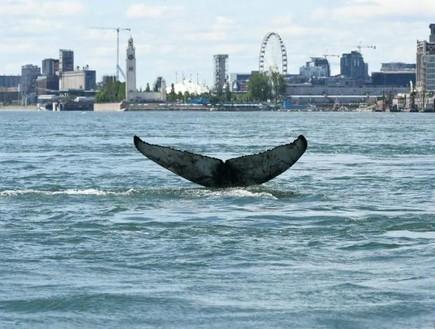 לראשונה בהיסטוריה: לווייתן תועד בנהר במונטריאול