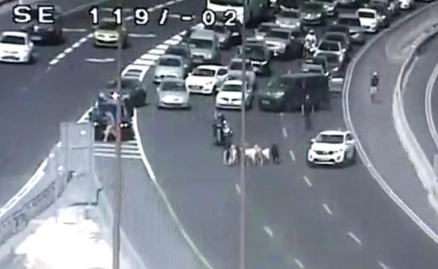 עזים נצפו בכביש ליד עין חמד (צילום: noon)