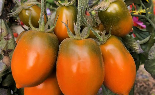 עגבניית קסנטומטו (צילום: עמית קוך)
