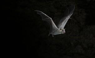 עטלפים בתל אביב (צילום: פרופ' יוסי יובל)