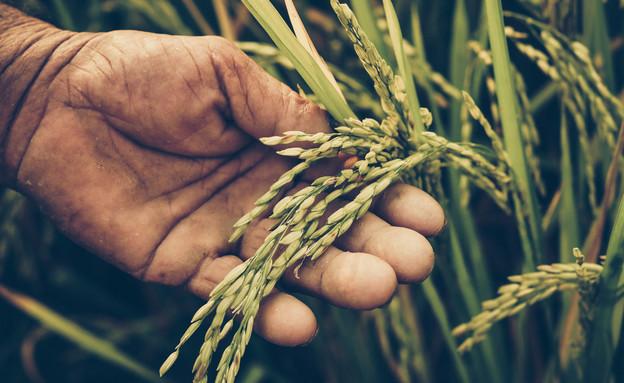 גידול אורז (צילום: wk1003mike, ShutterStock)