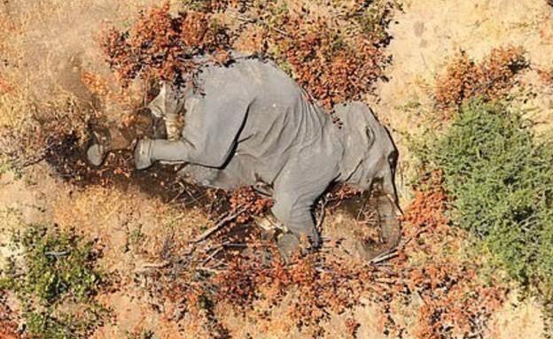 בוטסואנה (צילום: AnimalsInnocent, twitter)