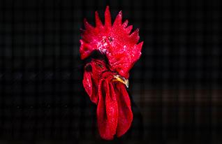 תרנגולות (צילום: עופר חן)