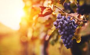 אשכול ענבים (צילום: Rostislav_Sedlacek, shutterstock)