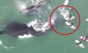לוויתנית תוקפת (צילום: אינסטגרם\whatifwefly_)