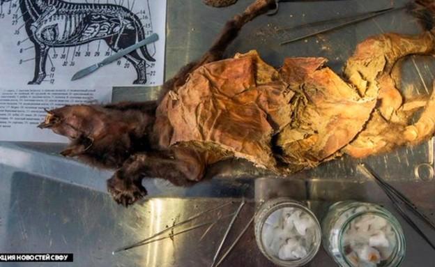 כלב פרה היסטורי (צילום: mirror.co.uk, twitter)