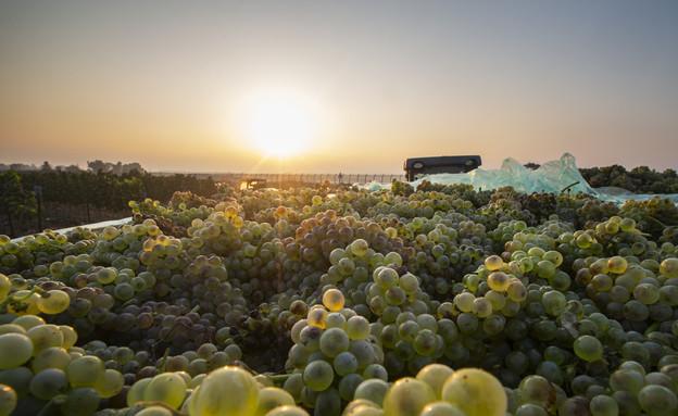ענבים, פירות, קיץ, שמש, חום (צילום: מאור קינבורסקי, פלאש 90)