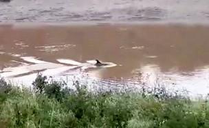 דולפין בנהר (וידאו WMV: פייסבוק)