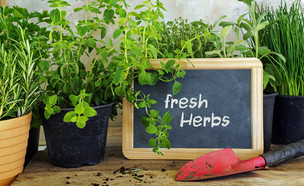 גידול צמחי מרפא בבית (צילום: Maren Winter, shutterstock)