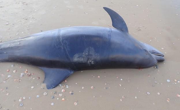 דולפין בבת ים (צילום: רוני זיו)