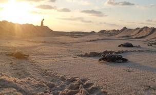 צבי ים (צילום: נועם מצרי, רשות הטבע והגנים)