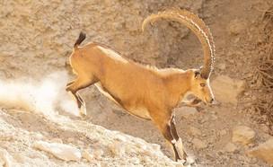 עדר יעלים חוצים את כביש 90 (צילום: אבנר רינות, החברה להגנת הטבע)