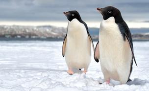 פינגווינים (צילום: Piotr Zarecki, Shutterstock)