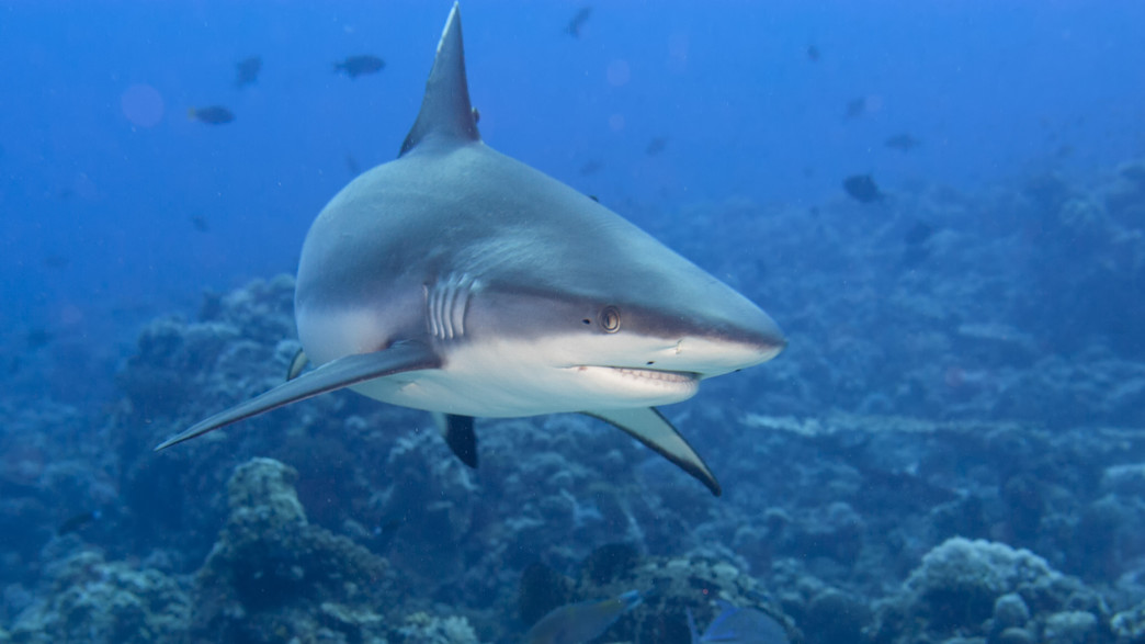 כריש (צילום: Andrea Izzotti, shutterstock)