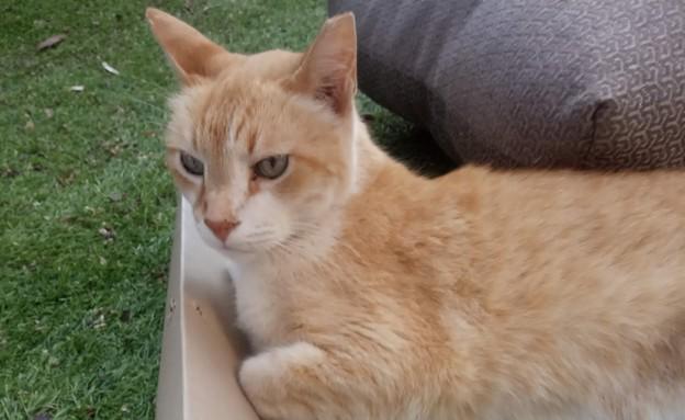 חתול ג'ינג'י יפה (צילום: צילום ביתי, אוכל טוב)