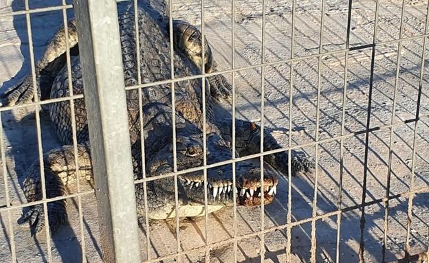 """ילד בן 4 ננשך ע""""י תנין בחוות תנינים בערבה: (צילום: חוות קרוקולוקו)"""