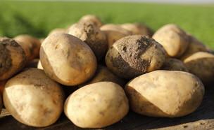 סוגי תפוחי אדמה (צילום: ליאור נורדמן)