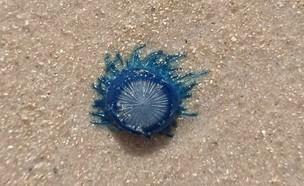 מדוזה כחולה (צילום: פז ידידים)