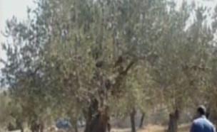 העץ הלאומי של ישראל (צילום: גלית ויואב, קשת 12)