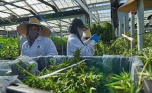 חווה לגידול קנאביס בקליפורניה (צילום:  Liudi Hara, shutterstock)